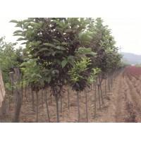 云杉、樟子松、丁香、白蜡、金叶榆、火炬