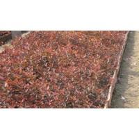 云杉、多季刺枚、樟子松、黄刺玫、油松