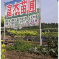 紫丁香小苗、火炬小苗、白蜡小苗、榆叶梅小苗