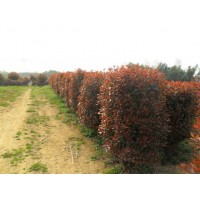 绿化苗木红花继木球价格,金焰绣线菊价格,红叶石楠球价格表