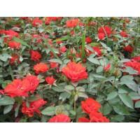 大红帽月季,青州大红帽月季,山东大红帽月季