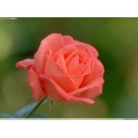 供应99%玫瑰香精