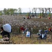 采棉机工作原理 棉花采摘机 周红灯牌棉花采摘机