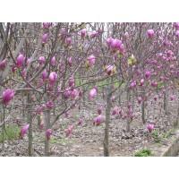 绿化花木价格小丑火棘、金丝柳、构骨球、南天竹、海桐球、爬山虎