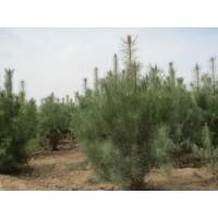 景观苗木报价北海道黄杨、红叶碧桃、金边黄杨、青桐、桧柏造型树