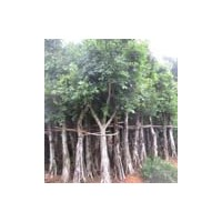 各种规格小叶榕盆栽 小叶榕盆景 榕树盆景 榕树批发