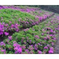 绿化工程造价毛鹃、榉树、春鹃、毛白杨、紫鹃、茉莉、比利时杜鹃