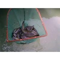 河北销售大量优质黑鱼苗
