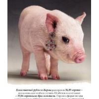 金宝能乳仔猪专用乳化油粉