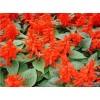 潍坊青州一串红厂家可以选择树春花卉
