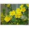 工程用苗黄刺玫,花灌木黄刺玫价格景观绿化