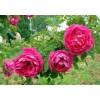 四季玫瑰价格,定州四季玫瑰报价可以选择定州鑫鑫苗圃