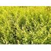 金叶水蜡价格,定州金叶水蜡小苗可以选择鑫鑫苗圃
