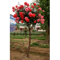 国际月季花产业平台提供南阳树状月季