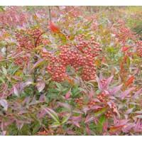 花木售价:金焰绣线菊、大叶女贞、丝兰、蜀桧、剑麻、红王子锦带