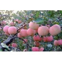 山东红富士苹果批发市场未受冰雹影响价格便宜上市哄抢