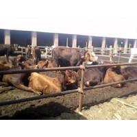 山西3月龄牛犊价格