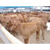 山西200斤小牛苗价格