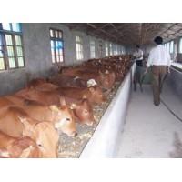 山西3月龄肉牛苗价格
