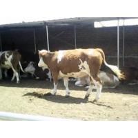 17年山西公牛价格