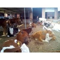 山西3月龄母牛价格