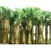 供应浙江优质的布迪椰子 湖州布迪椰子