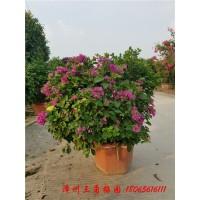 室内盆栽花卉 三角梅盆栽 三角梅花苗盆栽