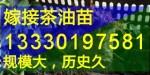 浙江金华嫁接油茶苗,武义,浦江,磐安县高产油茶树苗批发价格